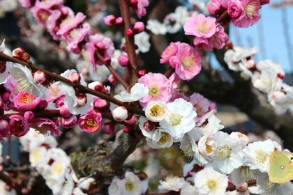 【津市】春を感じる!結城神社の梅と水辺を歩いてみよう!