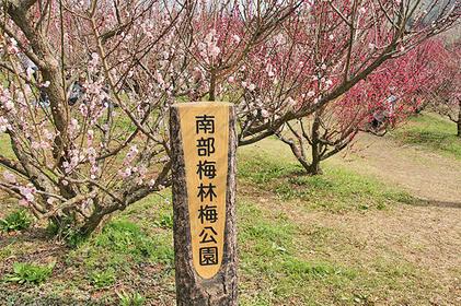 【みなべ町】春を感じる!日本一大規模な梅林・南部梅林-岩代大梅林を歩いてみよう!