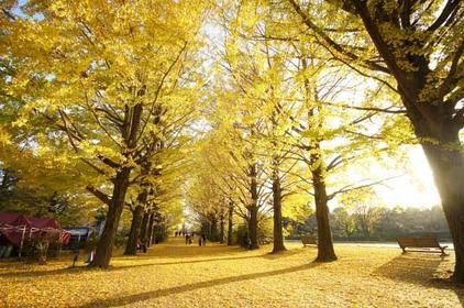 東京の「イチョウ並木」