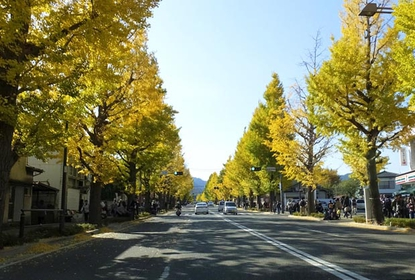甲州街道イチョウ並木