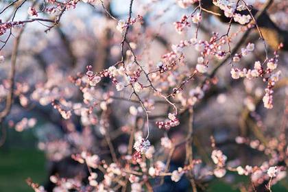 Mito Plum Blossom Festival
