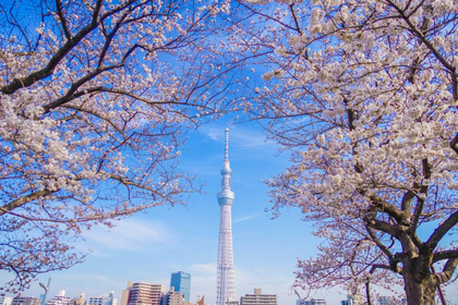 10 of the best cherry blossoms viewing spots in Tokyo, 2020