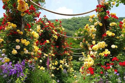 AKAO香草玫瑰花园