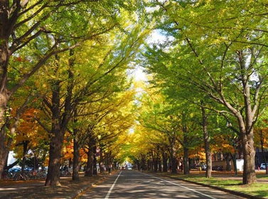 The fall colors of the rows of ginkgo trees around campus.