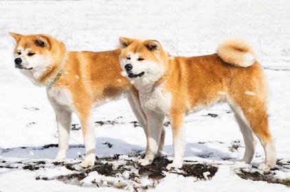 Akita Inu Dogs