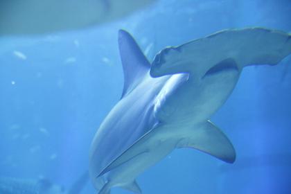 Osaka Aquarium - Hammerhead Shark