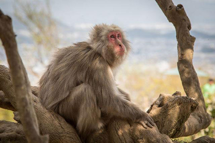 Where to See Monkeys in Japan