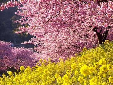 南伊豆の河津桜 伊豆の絶景スポットを写真に撮ろう 春のフォトジェニックスポットをめぐる