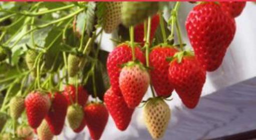 草莓田富士见 image