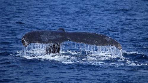 座间味村赏鲸协会 image