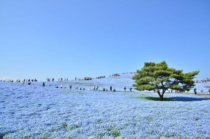 Hitachi Seaside Park image