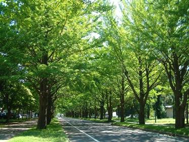 Hokkaido University Ginkgo Avenue image