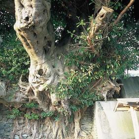 あこう樹 image