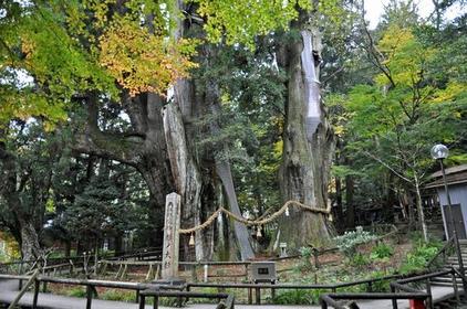 杉の大杉 image