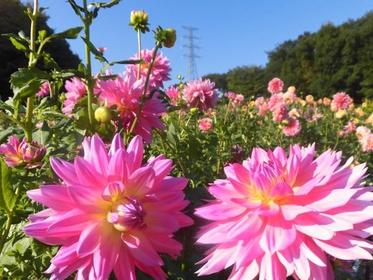 마치다 야쿠시이케 공원 시키사이노모리 모란원 image