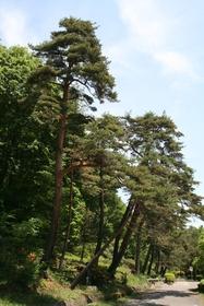 Kasatori Pass Pine Trees image