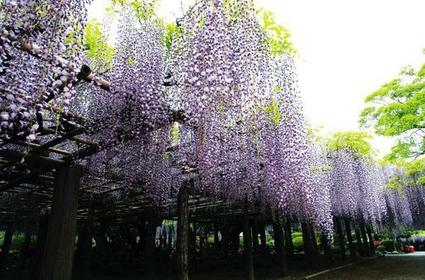 藤花園(牛島藤) image
