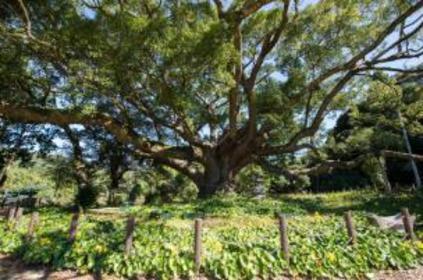 川棚樟樹森林 image