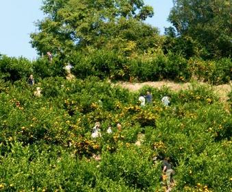 上の太子観光みかん園 image