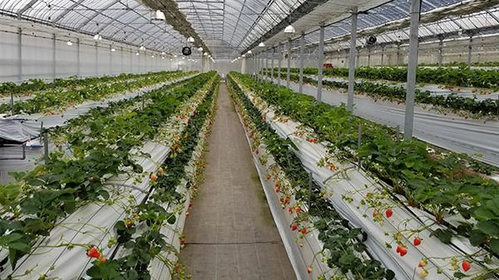 Strawberry Fields  築紫野草莓農園 image