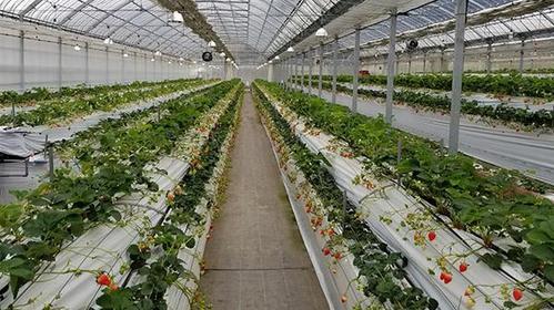 Strawberry Fields 筑紫野草莓农场 image