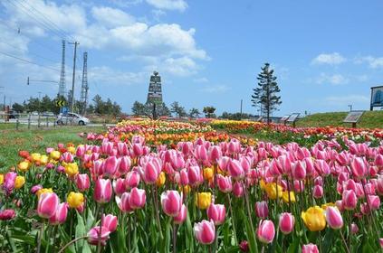Saraki岬鬱金香花園 image