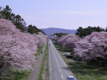 20-ken Road Cherry Blossoms image