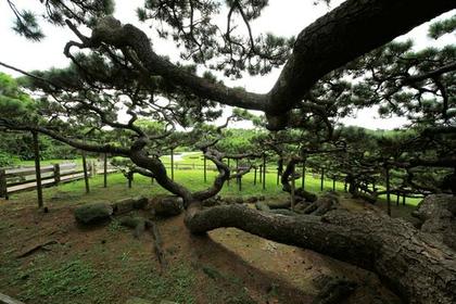 Goeda Pine of Kume image
