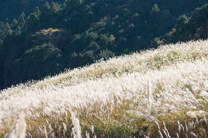 Sengokuhara Susuki Grass Fields image