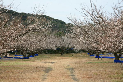 Iwashiro-daibairin Ume Orchard (Ume Blossom) image