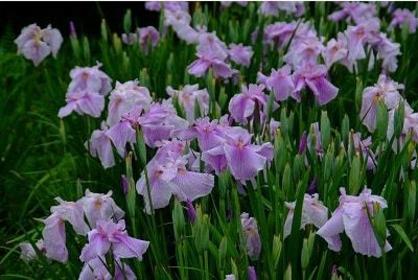 꽃의 마을 다키다니 꽃창포 정원 image