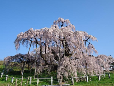 三春滝桜 image