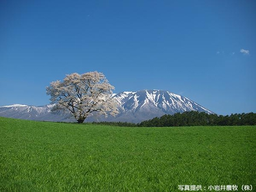 A Lonesome Cherry Blossoms on the Koiwai Farm image