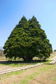 Kosugi no Osugi (Totoro Tree) image
