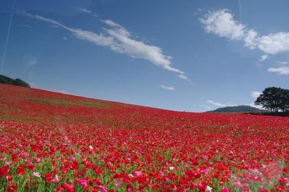 Sky Poppies image
