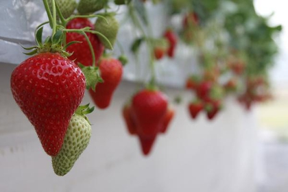 Tumitumi Strawberry Farm image