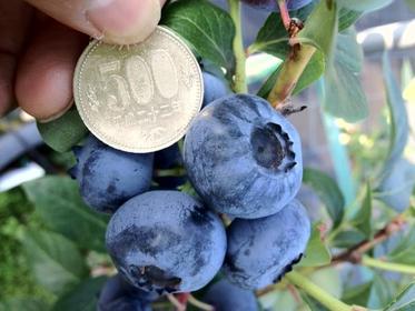 藍莓農園岡崎 image