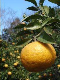城崎柑橘村 image