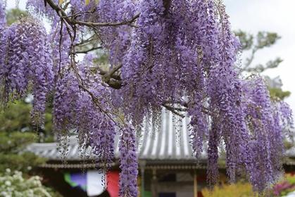 Wisteria at the Koyasu Jizoji Temple image
