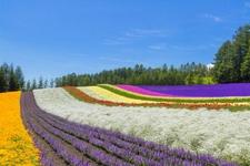 「ファーム富田」のラベンダーを見るのは7月がおすすめ。