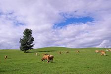 広々とした牧草地に牛がたくさん!絵になります♪