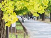 光が丘公園 黄色に色付き始めるイチョウ