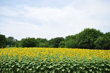 「国営昭和記念公園」約40,000本のひまわり