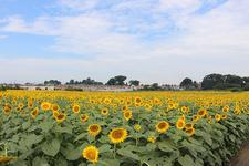 恵まれた農地に生き生きと咲くひまわり