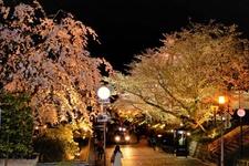 高台寺周辺の夜桜