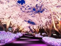 桜並木ライトアップ イメージ