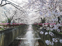 目黒川の桜並木 3月下旬