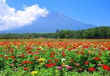 7月中旬~10月中旬の山中湖「花の都公園」は百日草が咲きます。