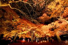 もみじの見ごろ11月になると華やかにライトアップされます。