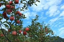 りんごもぎとり体験で美味しいりんごを食べよう!